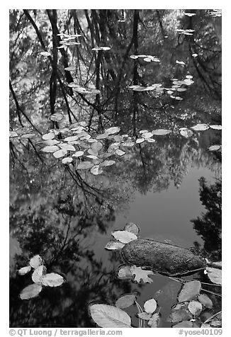 Creek with trees in autumn color reflected. Yosemite National Park (black and white)