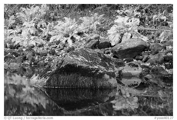 Ferms, mossy boulders, and reflections. Yosemite National Park (black and white)