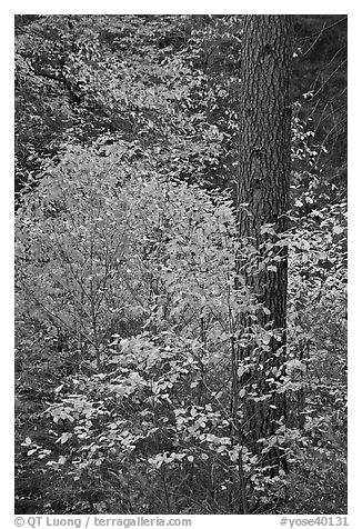 Dogwoods in autum foliage and trunk. Yosemite National Park (black and white)