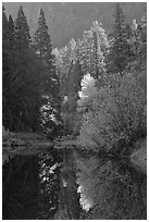 Sunlit autumn tree, Merced River. Yosemite National Park, California, USA. (black and white)