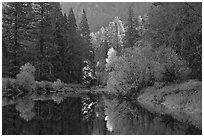 Bright autumn tree, Merced River. Yosemite National Park ( black and white)