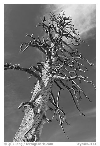Dead Lodgepole Pine. Yosemite National Park (black and white)
