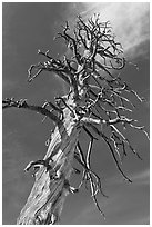 Dead Lodgepole Pine. Yosemite National Park, California, USA. (black and white)
