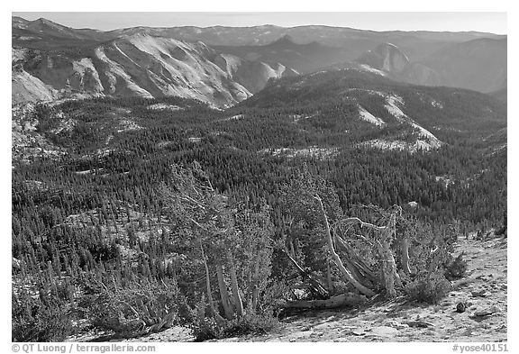 Wind-curved trees, Clouds Rest and Half-Dome from Mount Hoffman. Yosemite National Park (black and white)