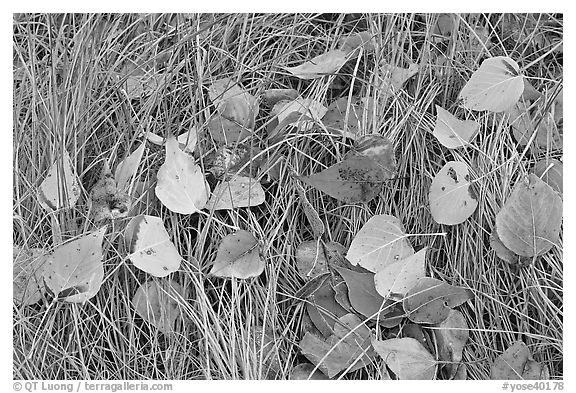 Leaves and grass with frost. Yosemite National Park (black and white)
