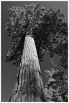 Towering sequoia tree, Mariposa Grove. Yosemite National Park ( black and white)