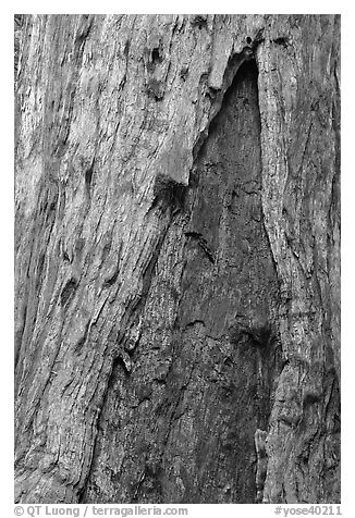 Bark detail of oldest tree in Mariposa Grove. Yosemite National Park (black and white)