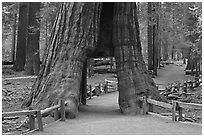 California tunnel tree, Mariposa Grove. Yosemite National Park ( black and white)