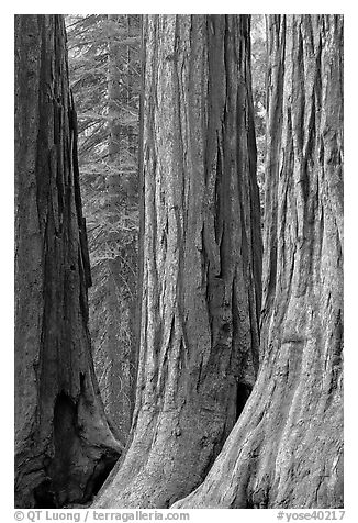 Base of sequoia tree trunks, Mariposa Grove. Yosemite National Park (black and white)
