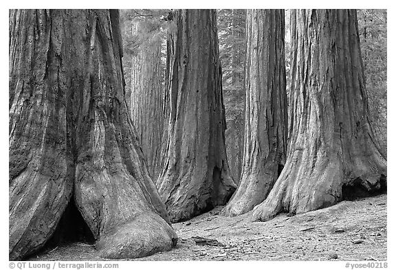 Sequoias called Bachelor and three graces, Mariposa Grove. Yosemite National Park (black and white)