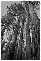 Sequoia trees at dusk, Mariposa Grove. Yosemite National Park ( black and white)