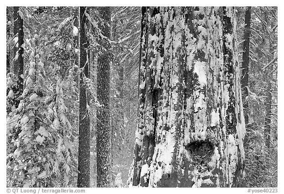 Giant Sequoia plastered with snow, Tuolumne Grove. Yosemite National Park (black and white)
