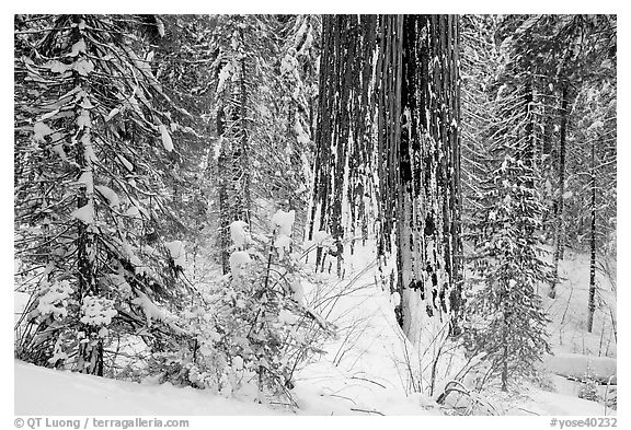 Sequoia forest in winter, Tuolumne Grove. Yosemite National Park (black and white)