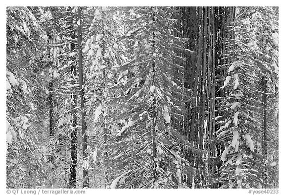 Wintry forest with sequoias and conifers, Tuolumne Grove. Yosemite National Park (black and white)