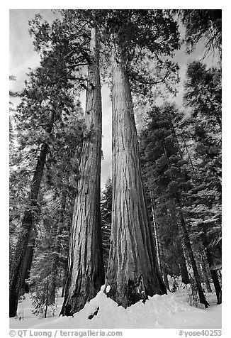 Giant sequoia trees in winter, Mariposa Grove. Yosemite National Park (black and white)