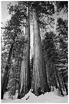 Giant sequoia trees in winter, Mariposa Grove. Yosemite National Park ( black and white)