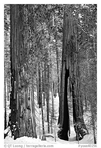 Clothespin Tree and another sequoia, Mariposa Grove. Yosemite National Park (black and white)