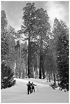 Skiing towards the Clothespin tree, Mariposa Grove. Yosemite National Park, California, USA. (black and white)