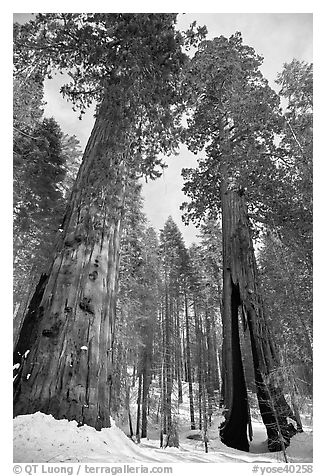 Two giant sequoia trees, one with a large opening in trunk, Mariposa Grove. Yosemite National Park (black and white)
