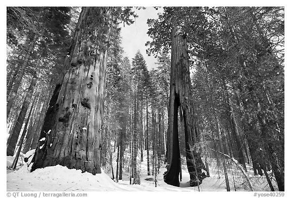 Mariposa Grove of Giant sequoias in winter with Clothespin Tree. Yosemite National Park (black and white)