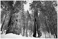 Mariposa Grove of Giant sequoias in winter with Clothespin Tree. Yosemite National Park, California, USA. (black and white)
