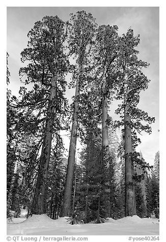 Upper Mariposa Grove in winter. Yosemite National Park (black and white)