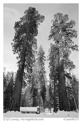 Big trees, and Mariposa Grove Museum in winter. Yosemite National Park (black and white)
