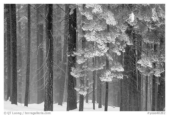 Snowy forest in fog, Chinquapin. Yosemite National Park (black and white)