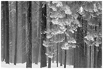 Snowy forest in fog, Chinquapin. Yosemite National Park ( black and white)