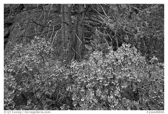 Manzanita with flowers, pine tree, and rock. Yosemite National Park (black and white)