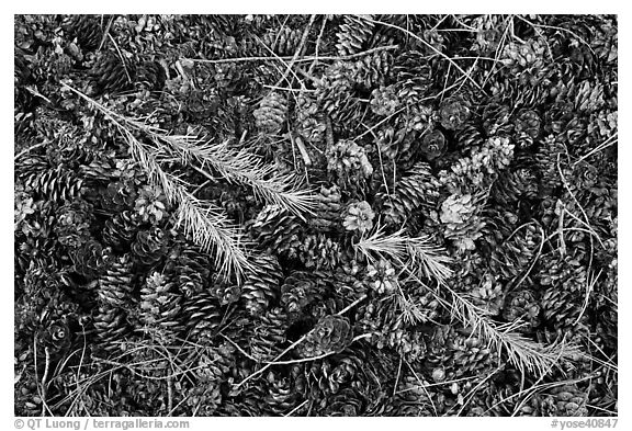 Close-up of pine cones and needles. Yosemite National Park (black and white)