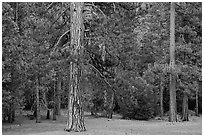 Lodgepole pine and forest. Yosemite National Park ( black and white)