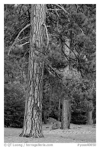 Lodgepole pines. Yosemite National Park (black and white)