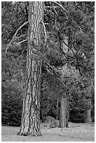Lodgepole pines. Yosemite National Park ( black and white)
