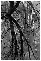 Willows reflected in Merced River. Yosemite National Park ( black and white)
