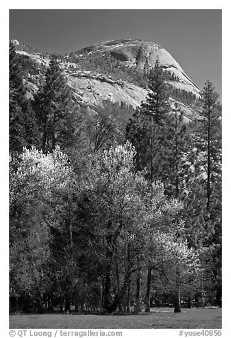 Apple tree in bloom and North Dome. Yosemite National Park (black and white)