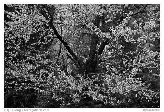 Tree in bloom. Yosemite National Park (black and white)