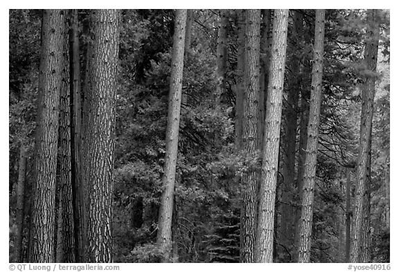 Pine forest. Yosemite National Park (black and white)