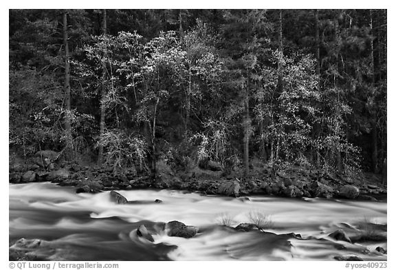 Trees in spring along the Merced River. Yosemite National Park (black and white)