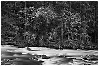 Trees in spring along the Merced River. Yosemite National Park ( black and white)
