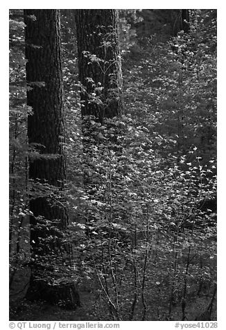 Pine trees and dogwoods, late afternoon, Tuolumne Grove. Yosemite National Park (black and white)