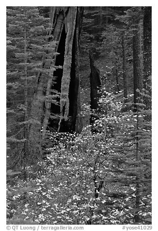 Dogwood and hollowed sequoia trunk, Tuolumne Grove. Yosemite National Park (black and white)
