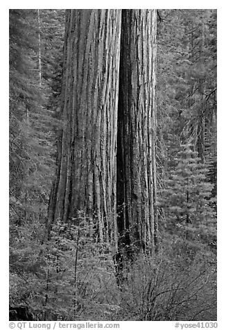 Twin sequoia truncs in the spring, Tuolumne Grove. Yosemite National Park (black and white)