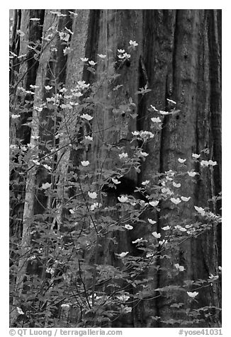 Dogwood flowers and trunk of sequoia tree, Tuolumne Grove. Yosemite National Park (black and white)