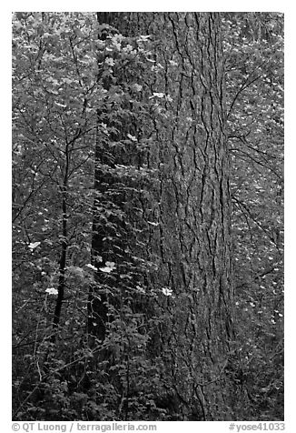 Flowering dogwoods and pine tree, Tuolumne Grove. Yosemite National Park (black and white)