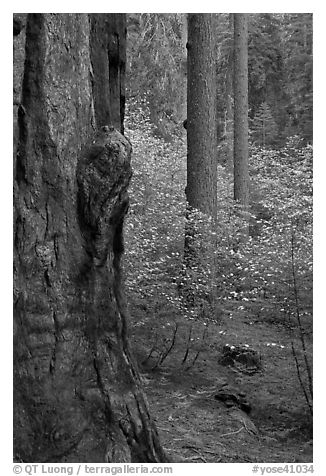 Forest with sequoia, pine trees, and dogwoods, Tuolumne Grove. Yosemite National Park (black and white)