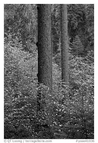 Pines and dogwoods in spring, Tuolumne Grove. Yosemite National Park (black and white)