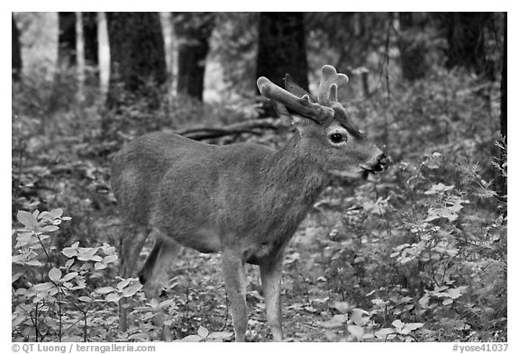 Young bull deer in forest. Yosemite National Park (black and white)