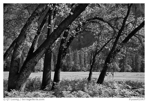 Ferns, Oak Trees, Ahwanhee Meadow. Yosemite National Park (black and white)