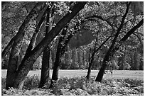 Ferns, Oak Trees, Ahwanhee Meadow. Yosemite National Park ( black and white)